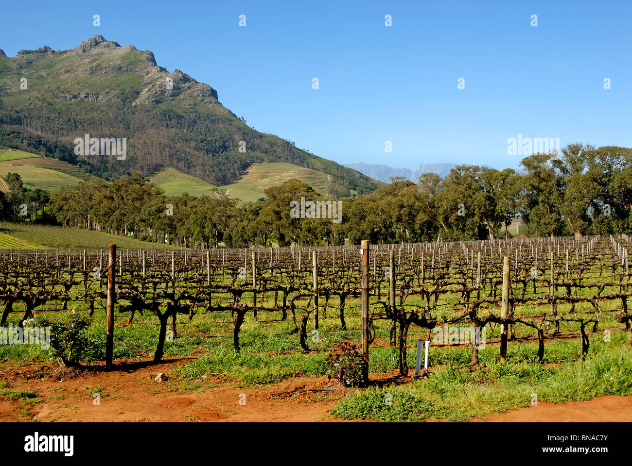 South Africa vineyard / winery in spring, near Stellenbosch, South Western Cape, South Africa - Stock Image