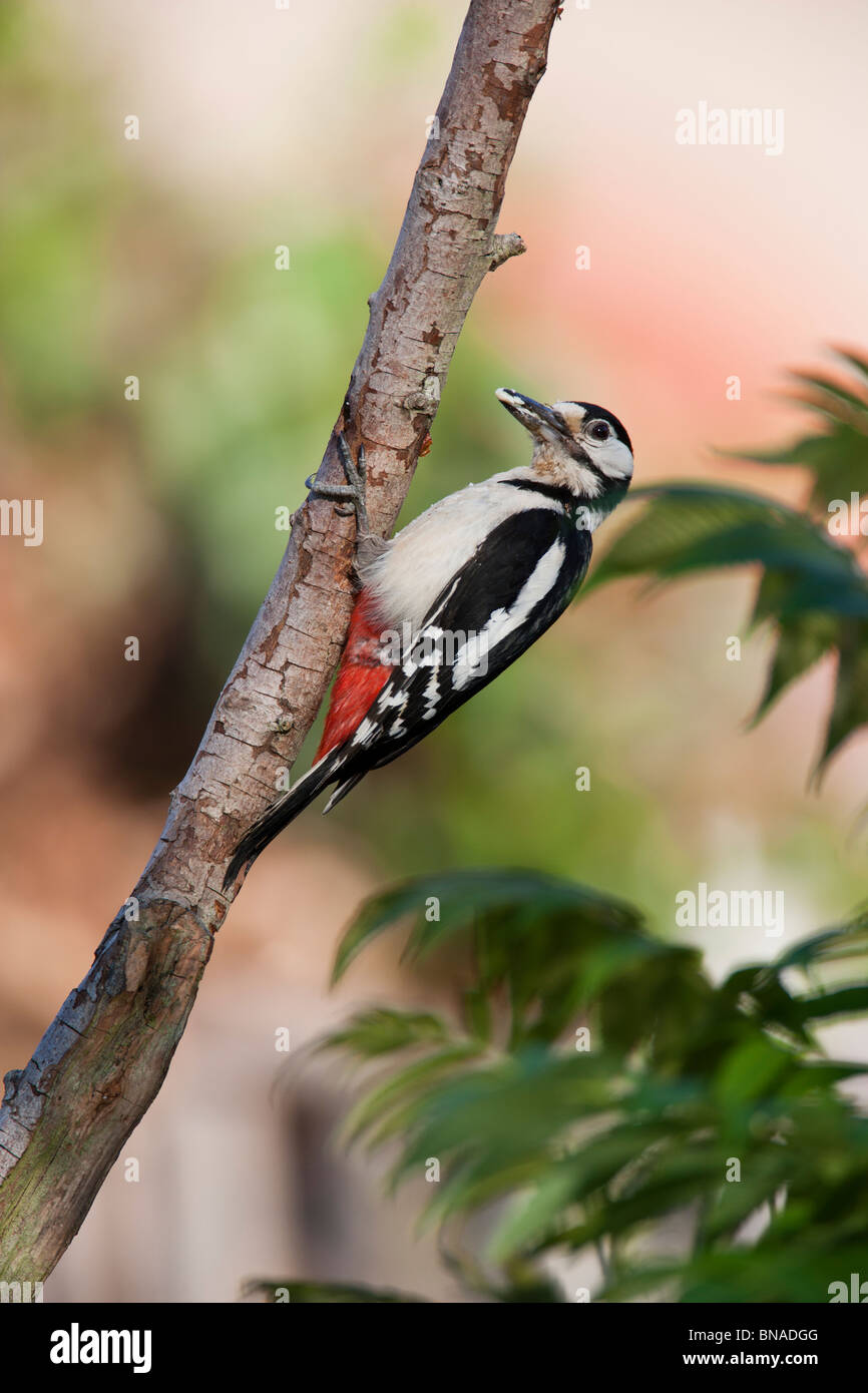 Great Spotted Woodpecker Dendrocopos major (Picidae) - Stock Image