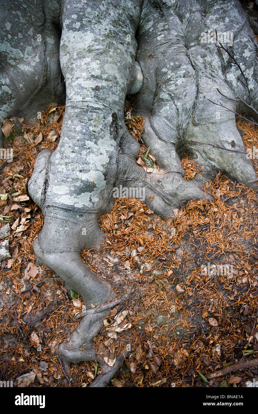 Beech roots Fagus sylvatica - Stock Image