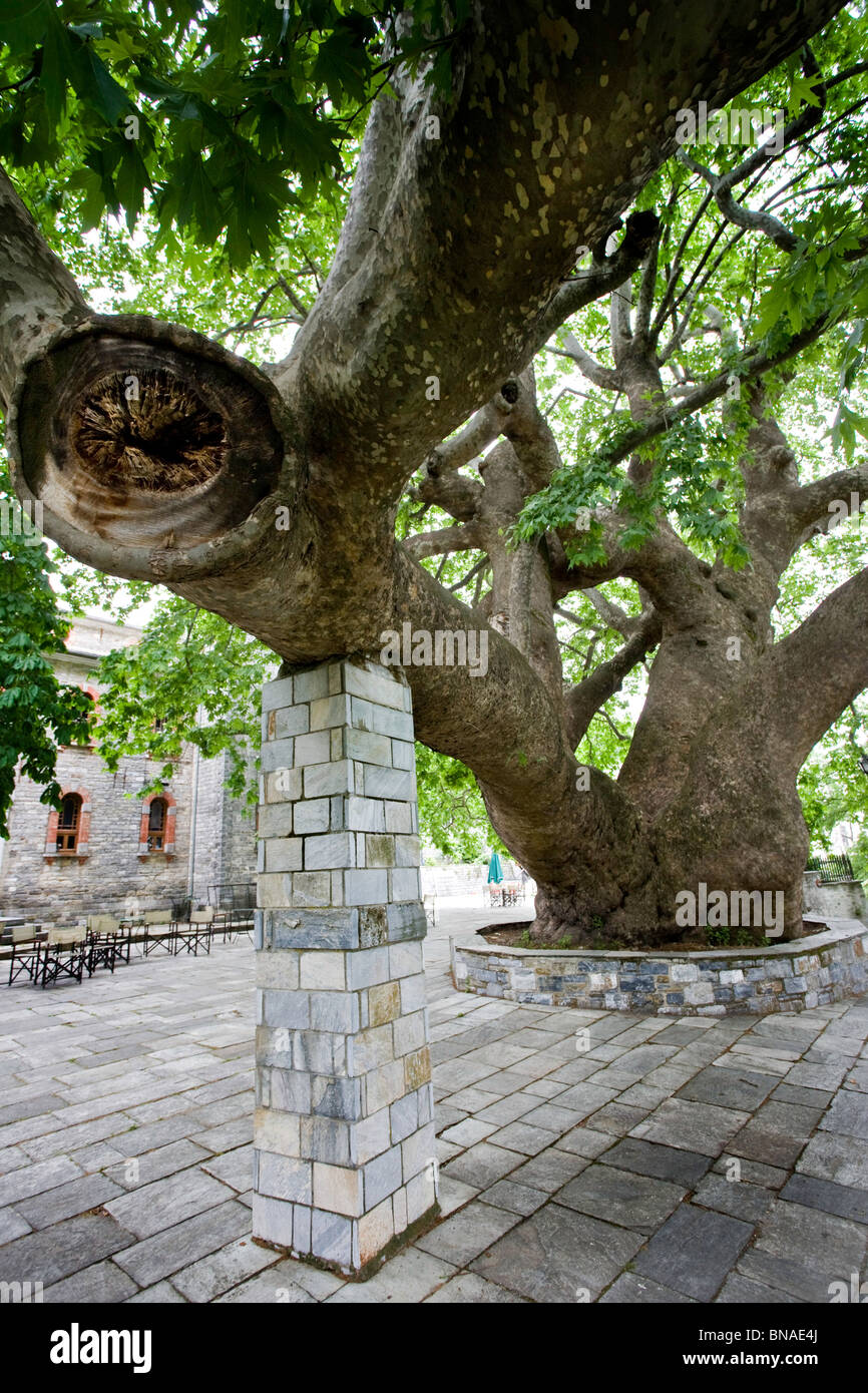 Giant plane tree in the square of Agia Paraskevi one of the four village centres of Tsangarada on the Pelion of - Stock Image