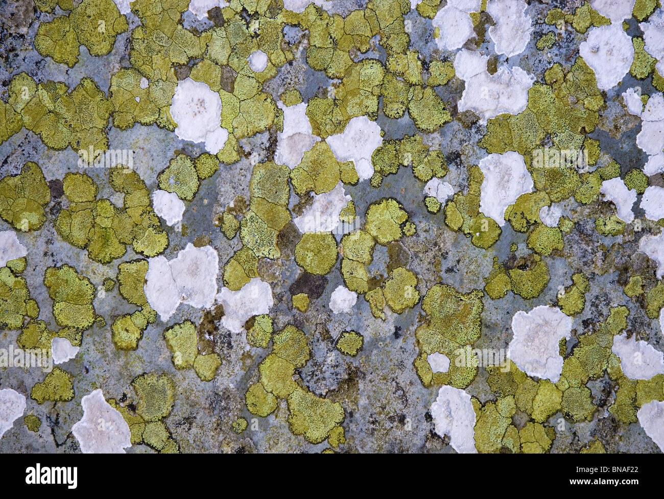 Mosaic of green and white crustose lichens on a slate gravestone in Cornwall Curnow - Stock Image