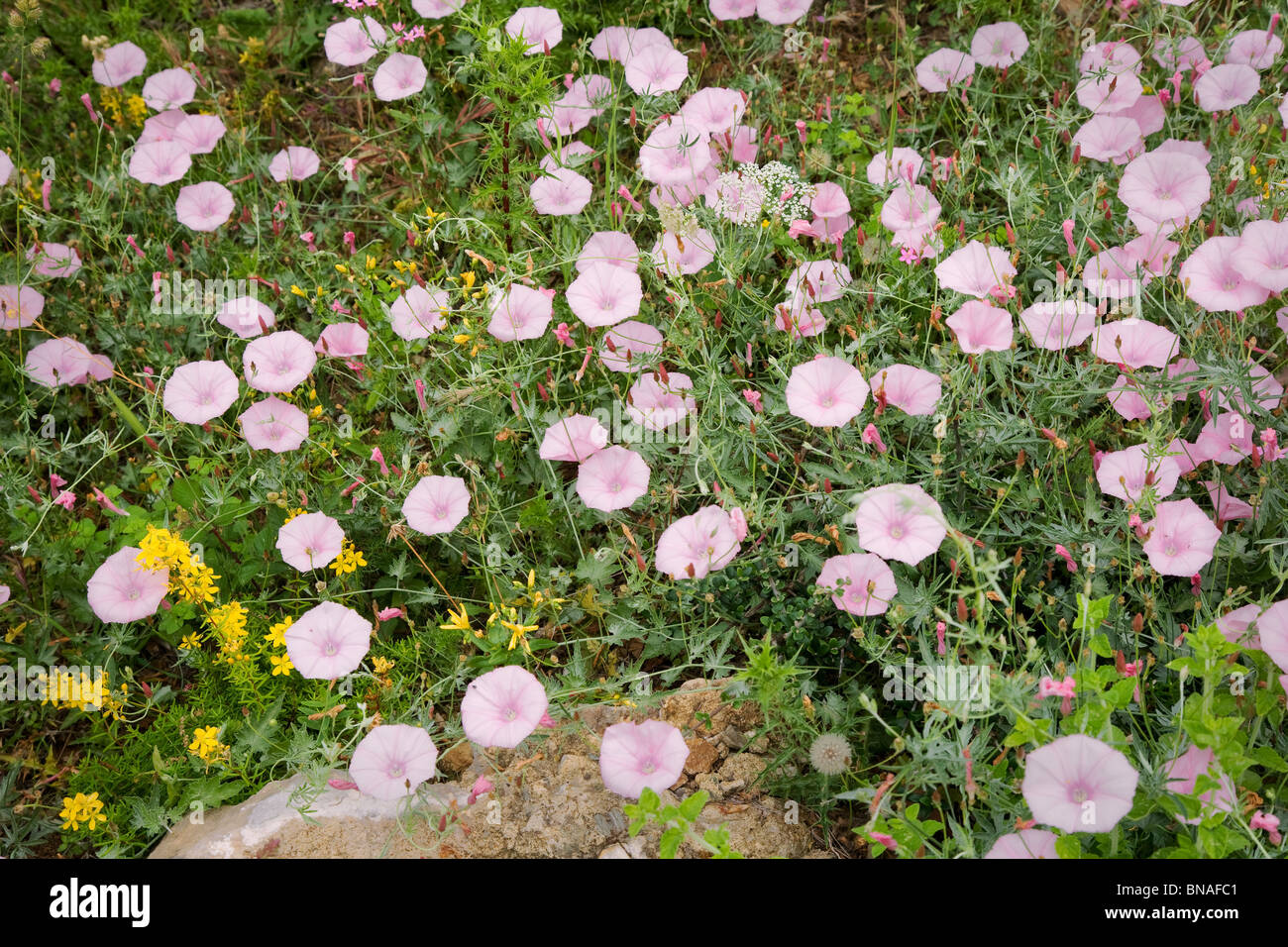 Bindweed Convolvulus althaeoides subspecies tenuissimus growing in profusion in a greek olive grove - Stock Image