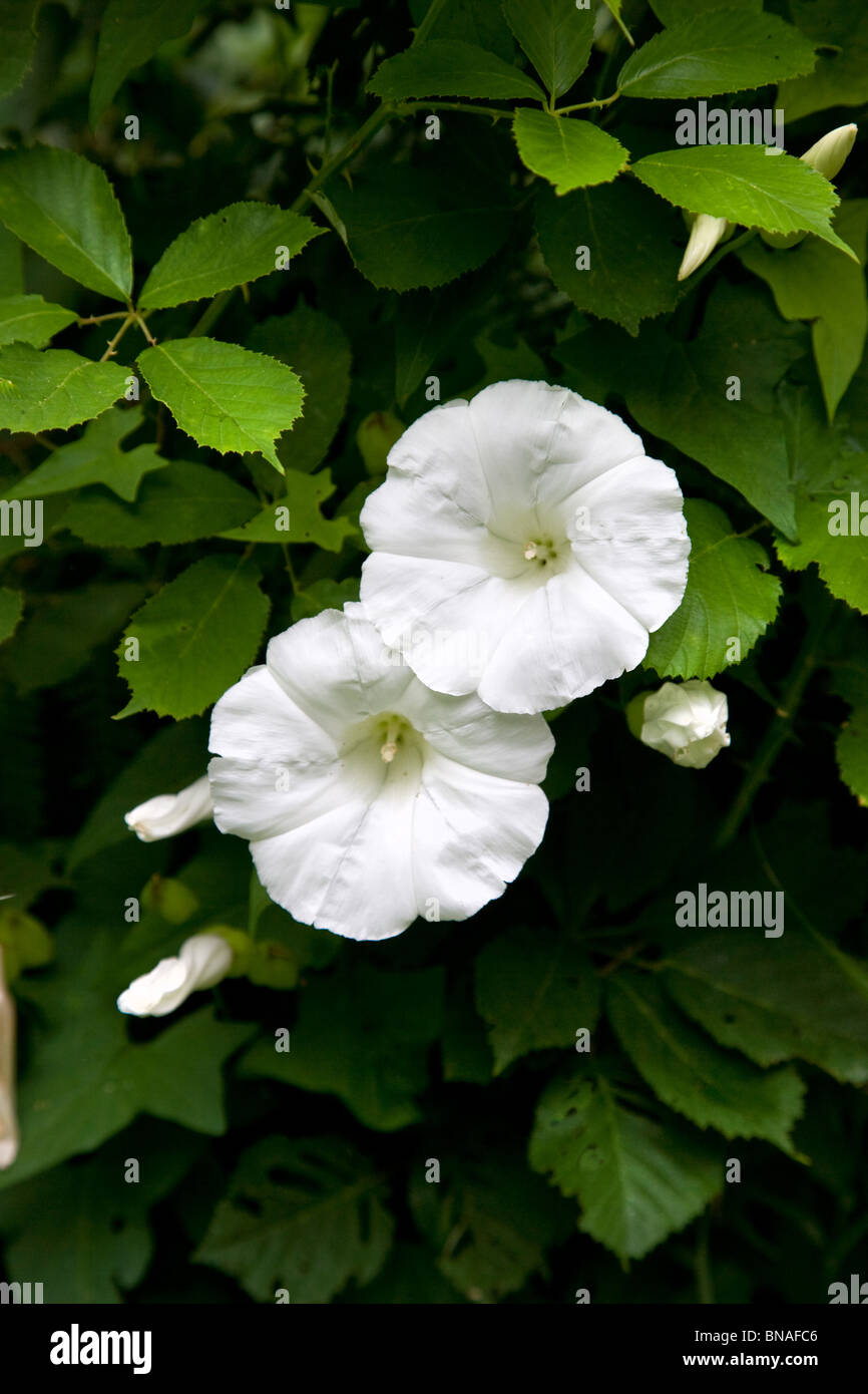 Large Bindweed Calystegia  sylvatica flowers growing through a hedge - Stock Image