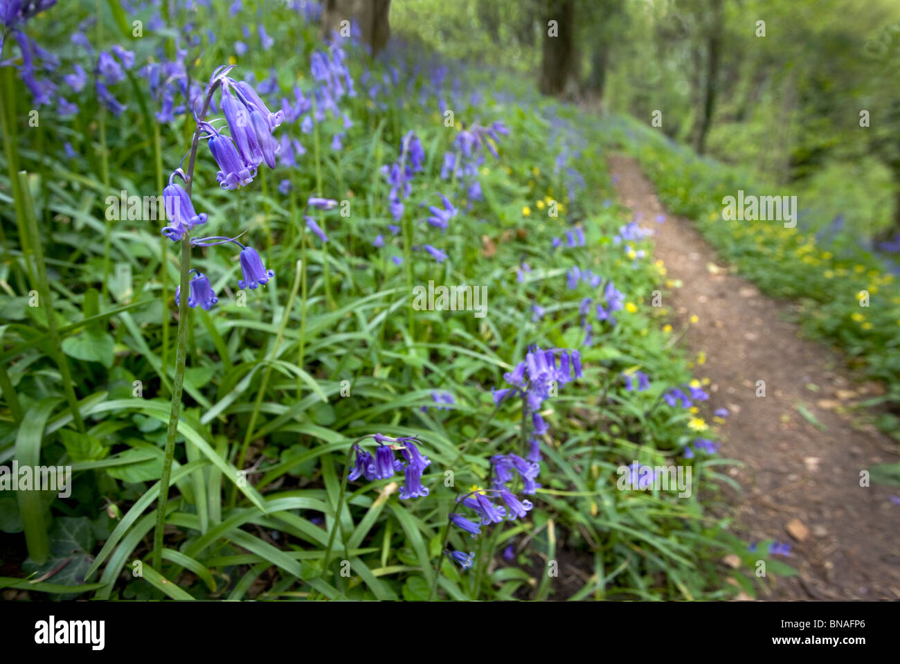 Bluebells Endymion non-scriptus growing by a woodland path in Somerset England - Stock Image