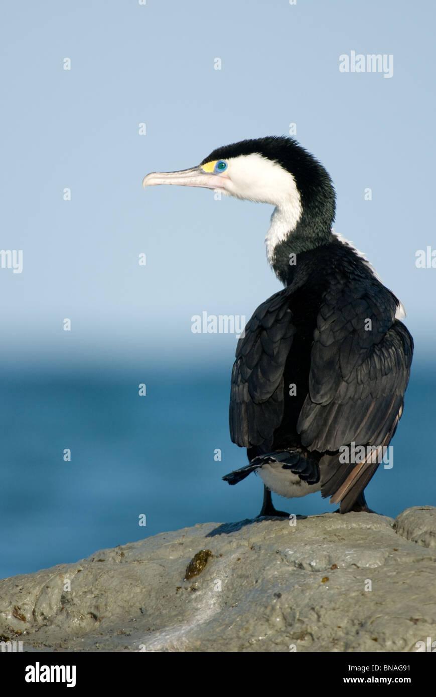 New Zealand Pied Shag Phalacrocorax varius - Stock Image