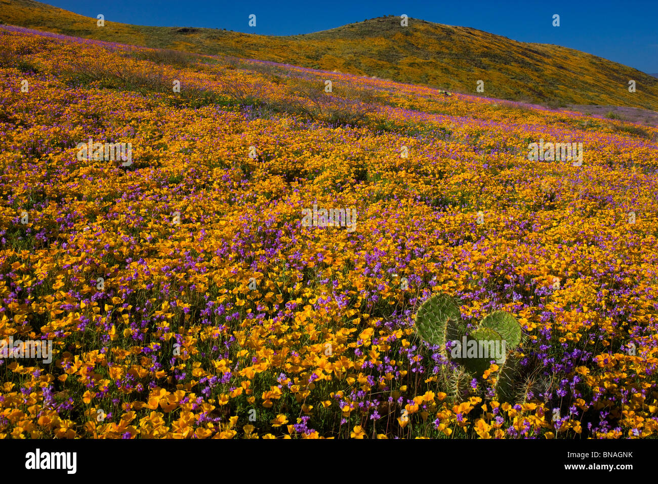 Wildflowers in Black Hills, Arizona. Stock Photo