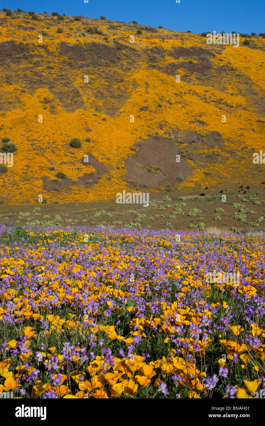 Wildflowers in Black Hills, Arizona. - Stock Image