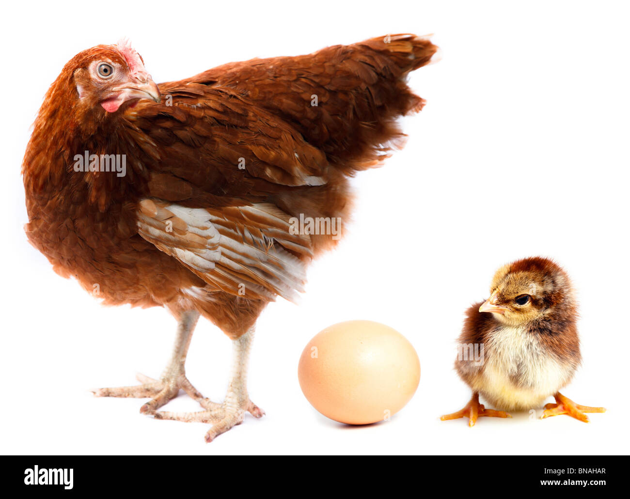 Hen, chick and egg in studio against a white background. - Stock Image