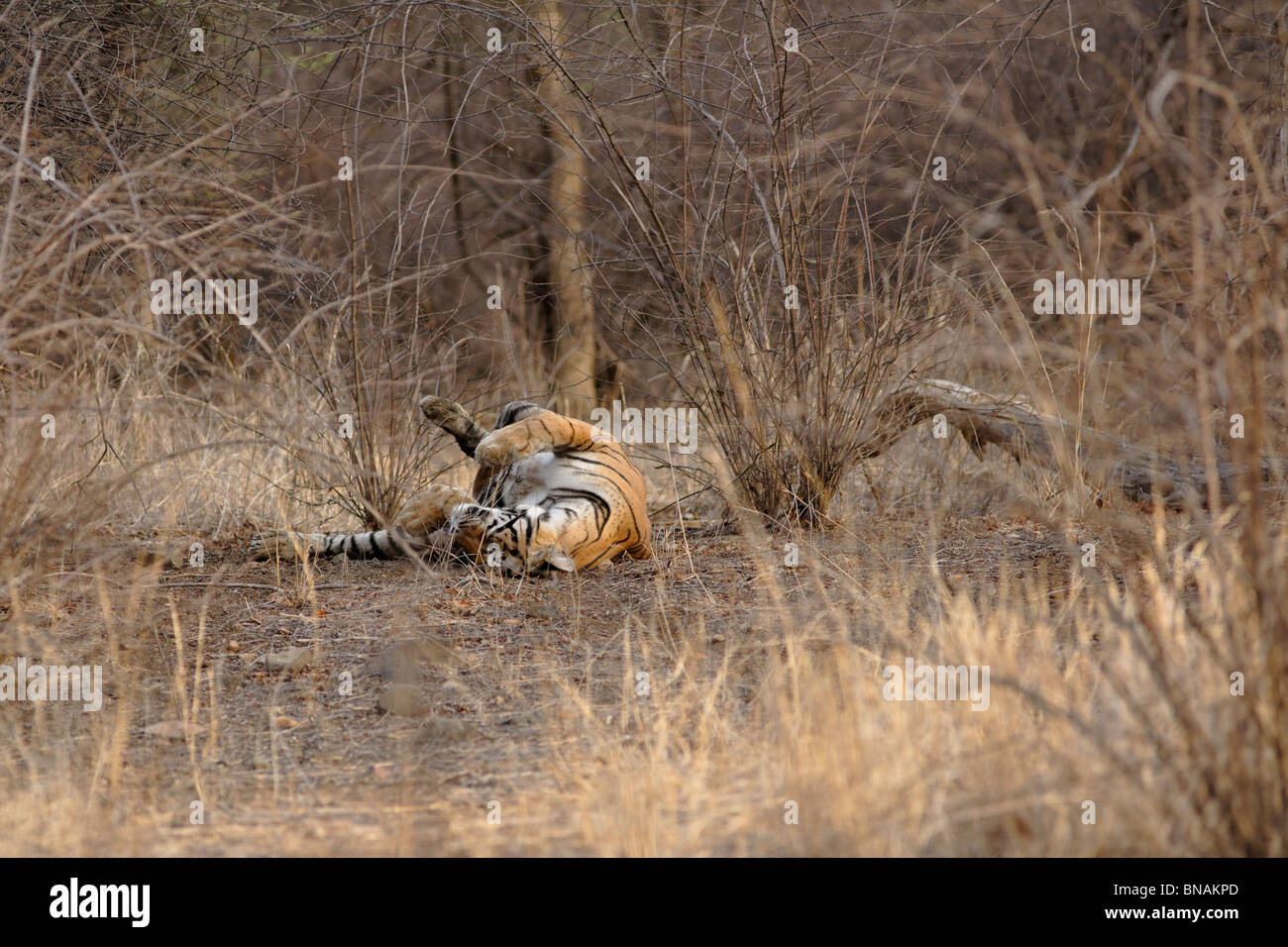 A Bengal Tiger rolling inside the dry camouflaged at Ranthambhore, India. ( Panthera Tigris ) - Stock Image