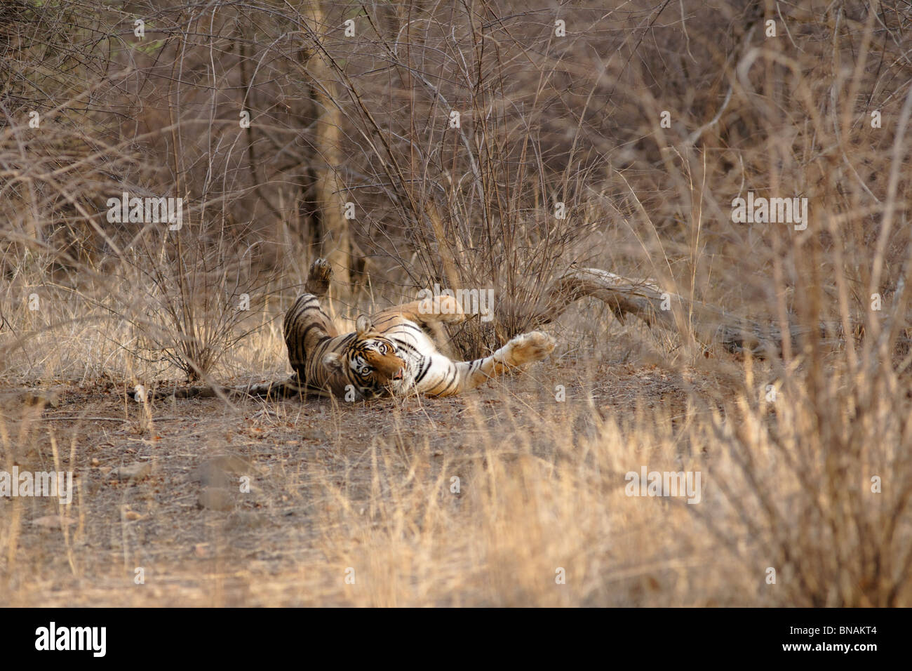 A Bengal Tiger rolling inside the dry camouflaged looking alert at Ranthambhore, India. ( Panthera Tigris ) - Stock Image