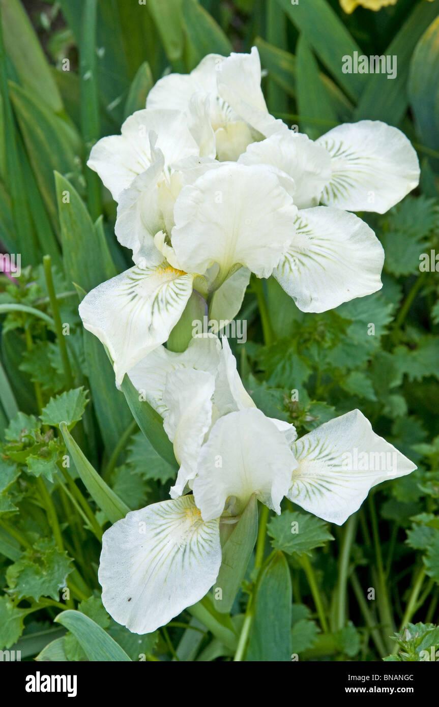White Bearded Iris Flower Stock Photos & White Bearded Iris Flower