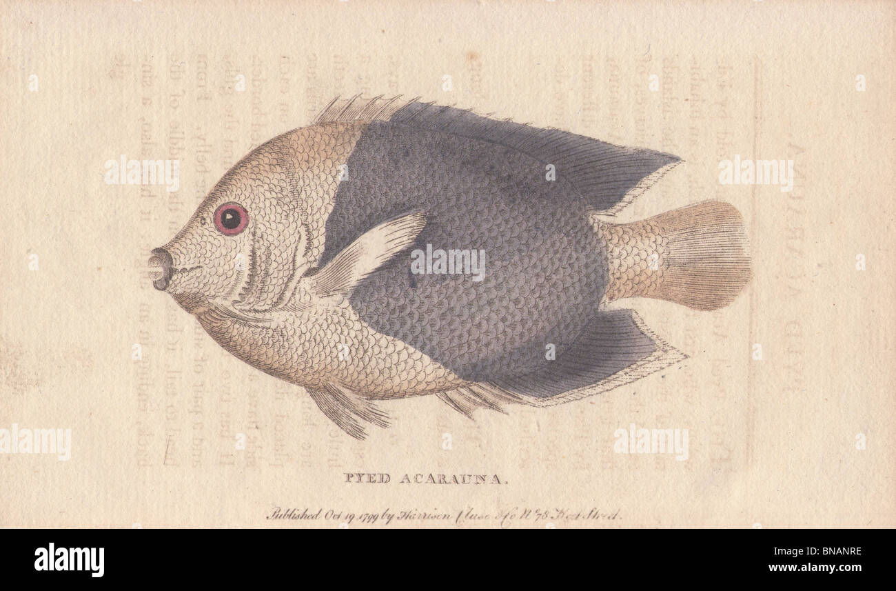 Pyed acarauna, a small American fish called by our sailors 'old wife.' - Stock Image