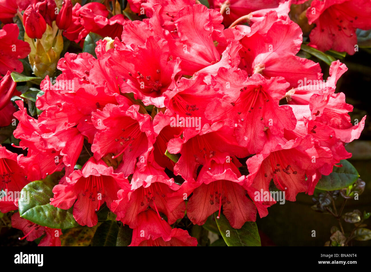 Cluster of bright red flowers on Rhododendron yakushimanum 'Titian Beauty' - Stock Image