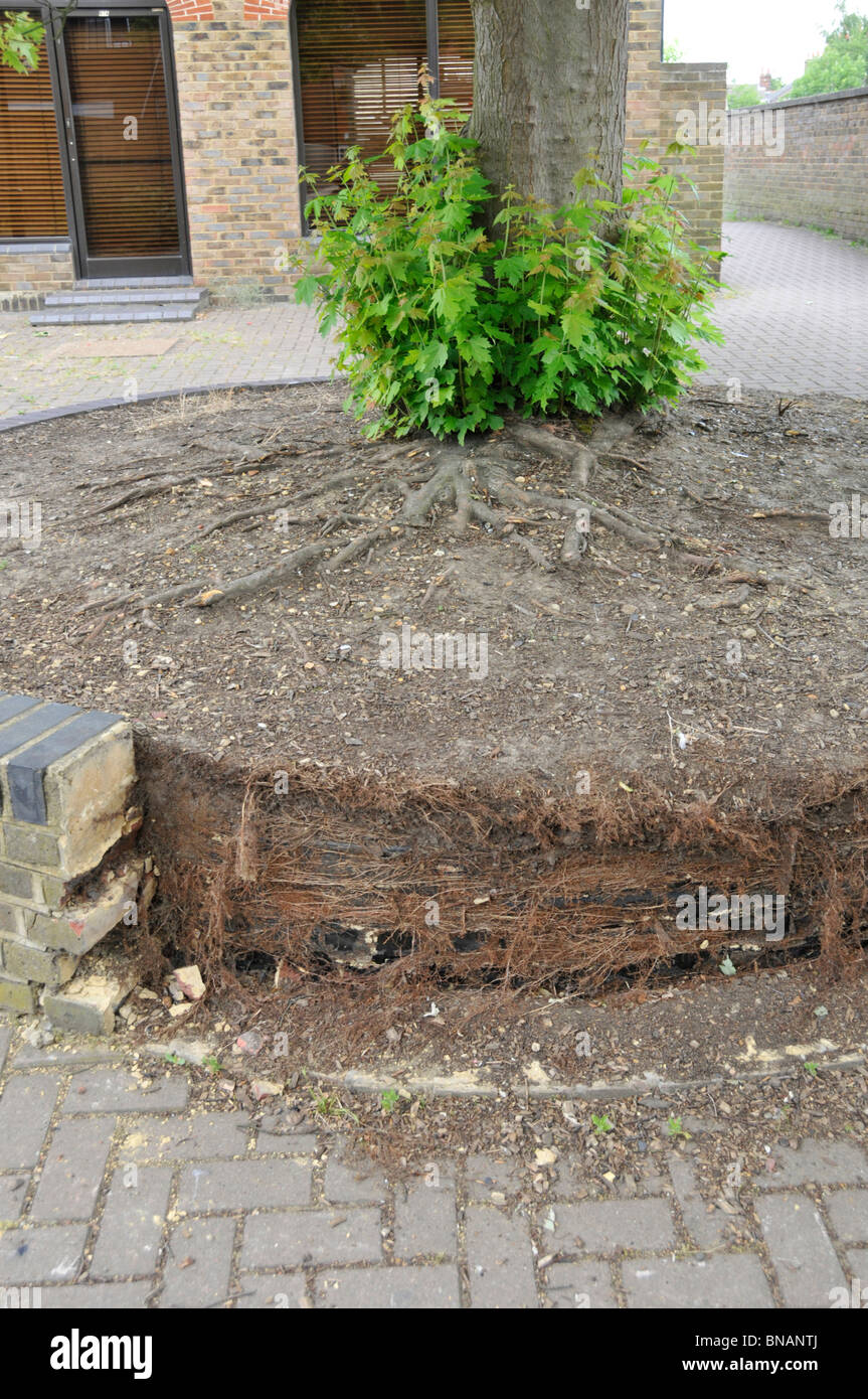 Tree root growth and damage to brick wall - Stock Image