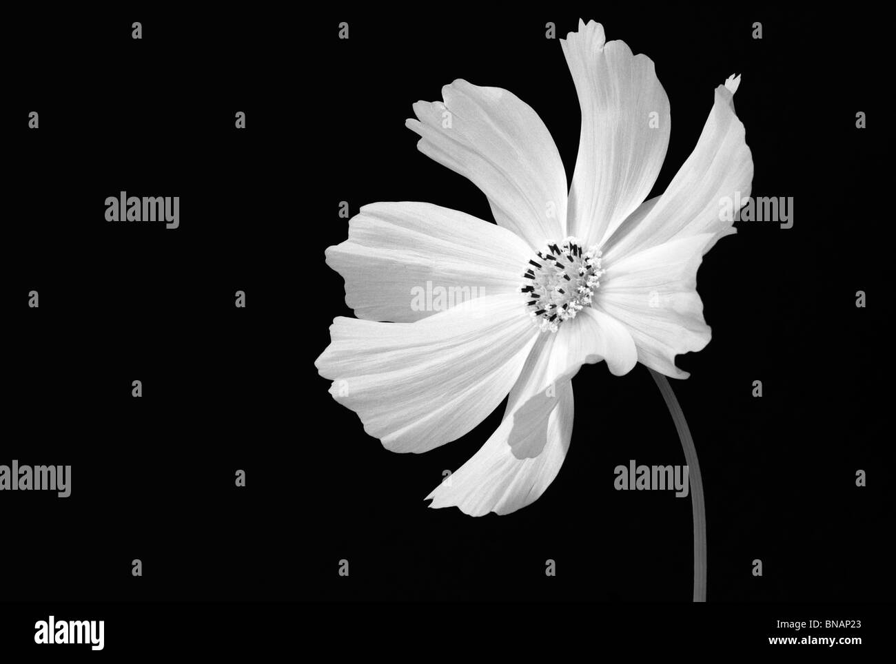 Still Life Black And White Portrait Of A White Cosmos Flower Stock