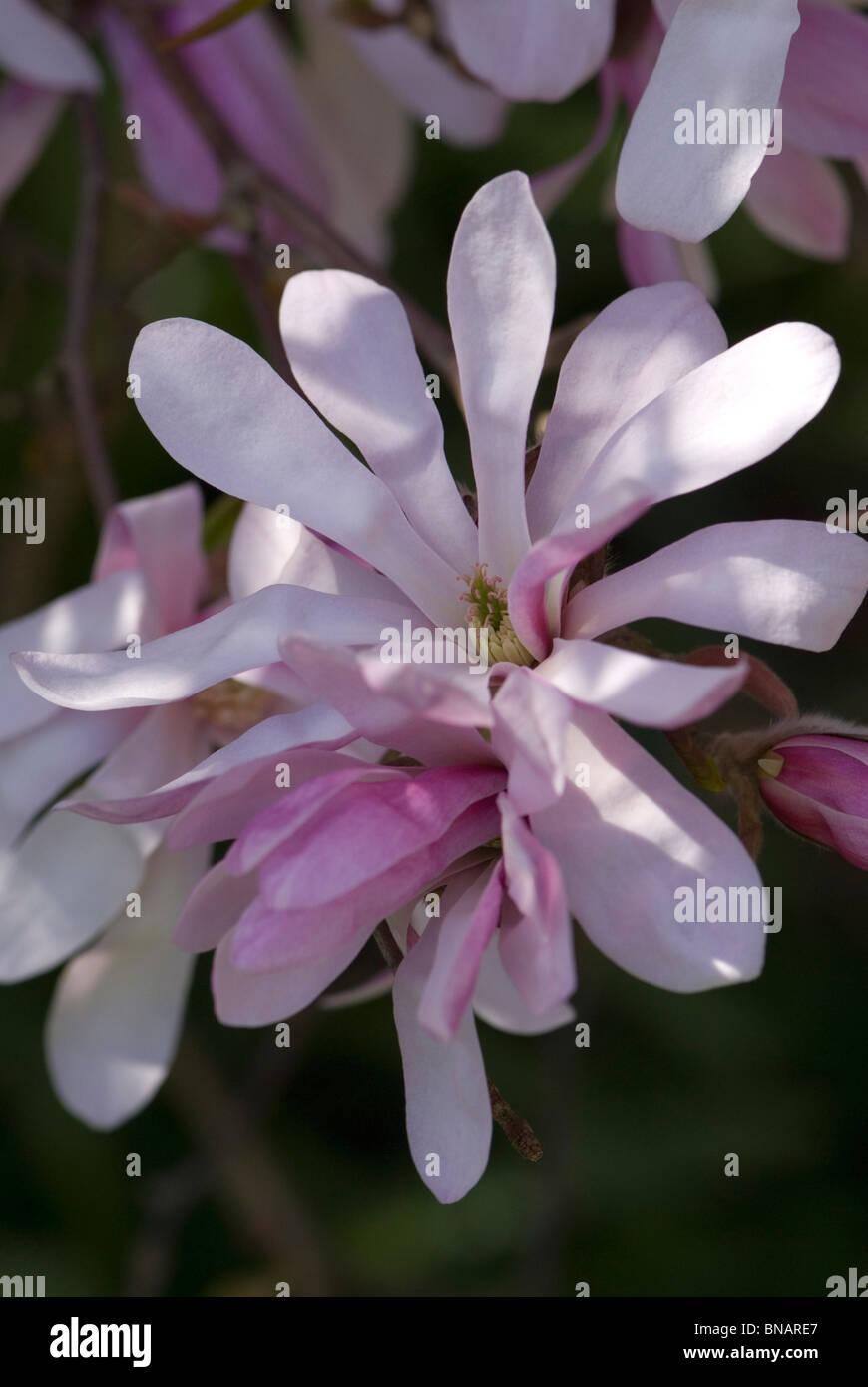 Magnolia Leonard Messel Stock Photo
