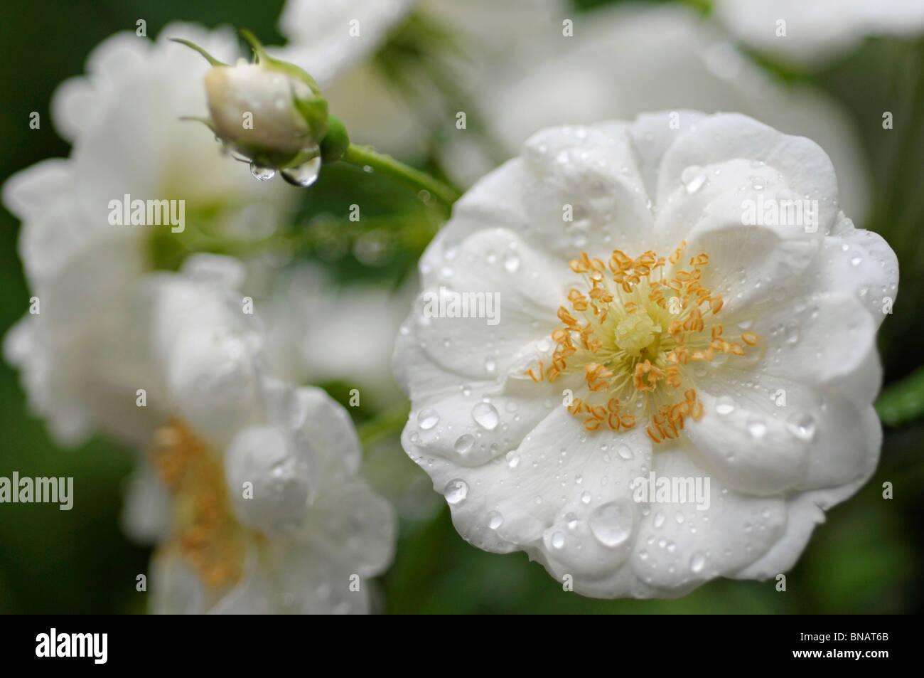 White 'Vigorosa' (Vigorous) Roses - Stock Image