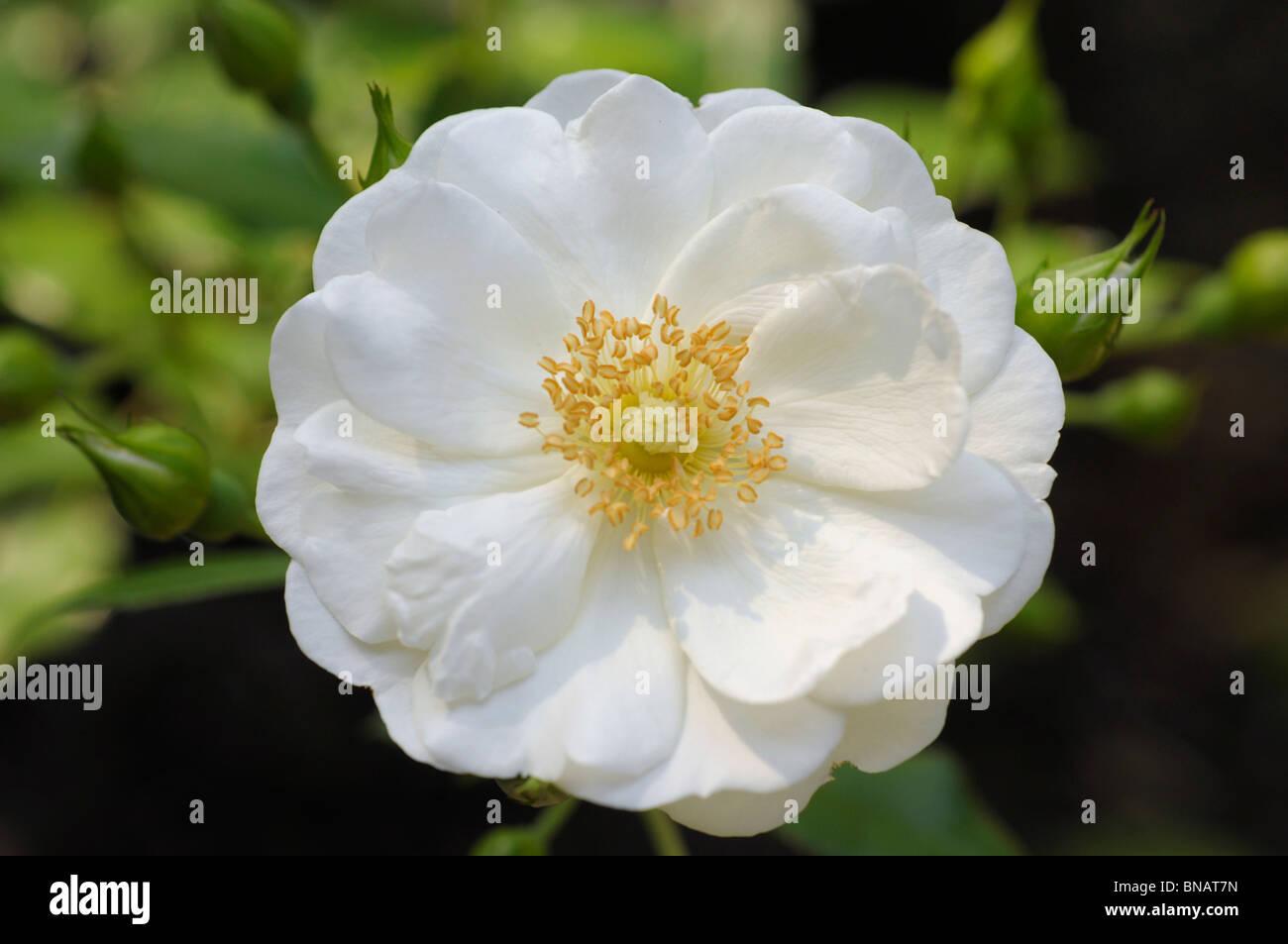 White 'Vigorosa' (Vigorous) Rose - Stock Image