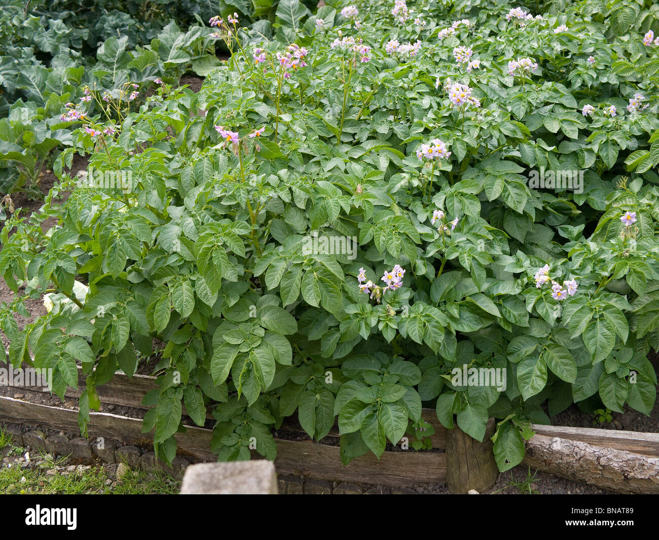Flourishing potato plants in a cottage garden at Hutton le Hole North Yorkshire - Stock Image