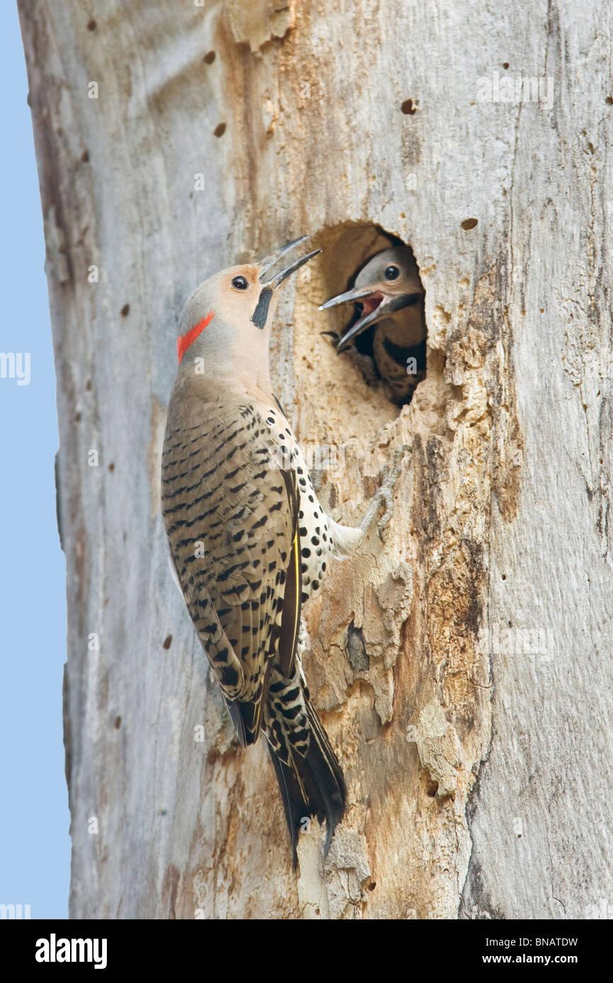 Northern Flicker Woodpecker Nest - Vertical - Stock Image