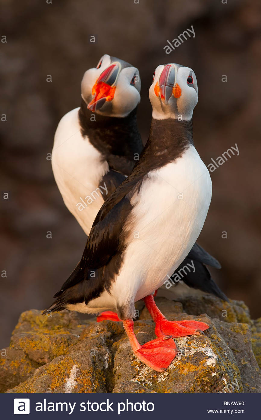 Two Atlantic puffins (Fratercula arctica) share a rocky bluff in Látrabjarg, Iceland. - Stock Image