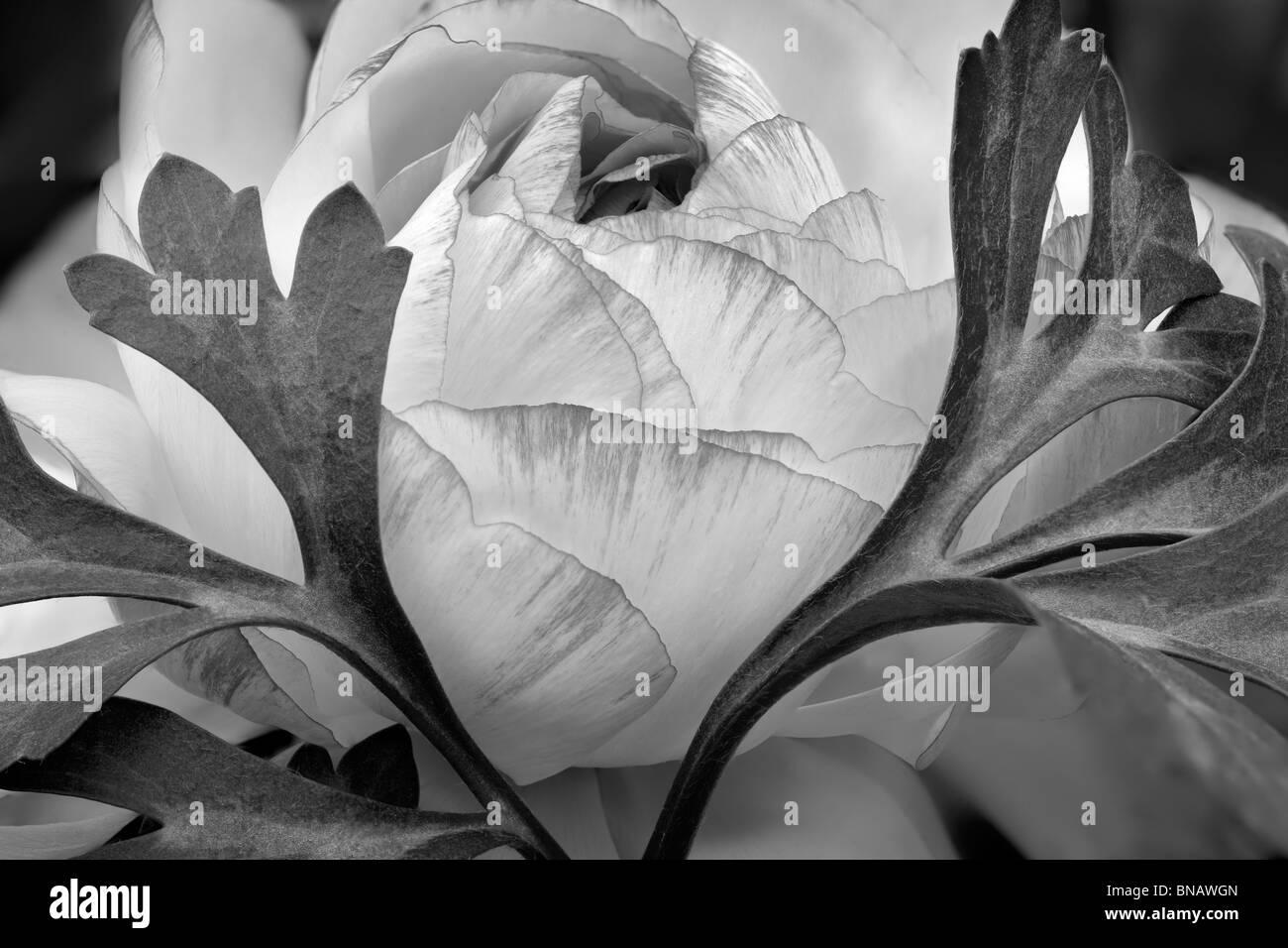 Ranunculus flower close up. Al's Nursery, Woodburn, Oregon - Stock Image