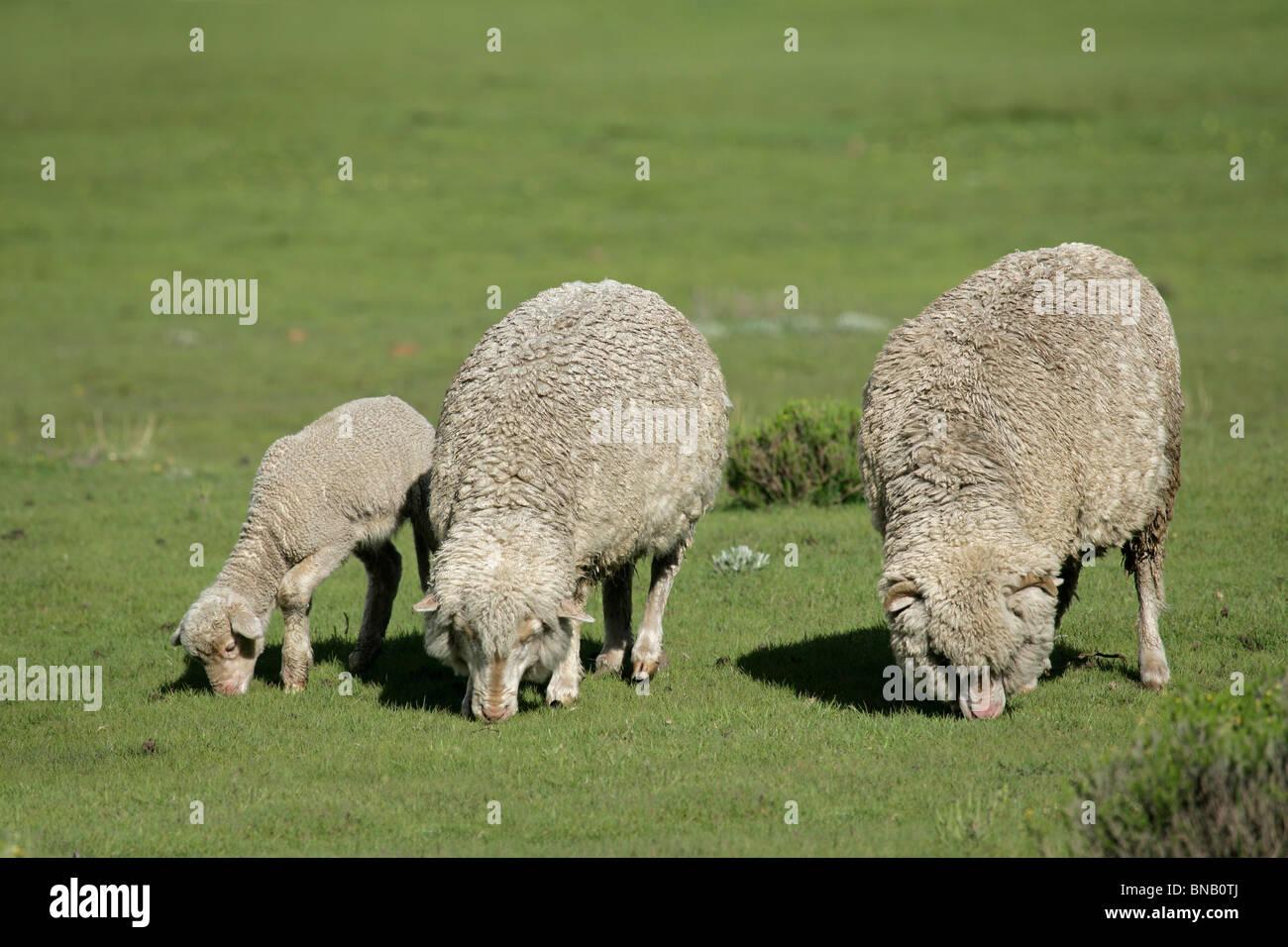 Merino sheep grazing on lush green pasture - Stock Image