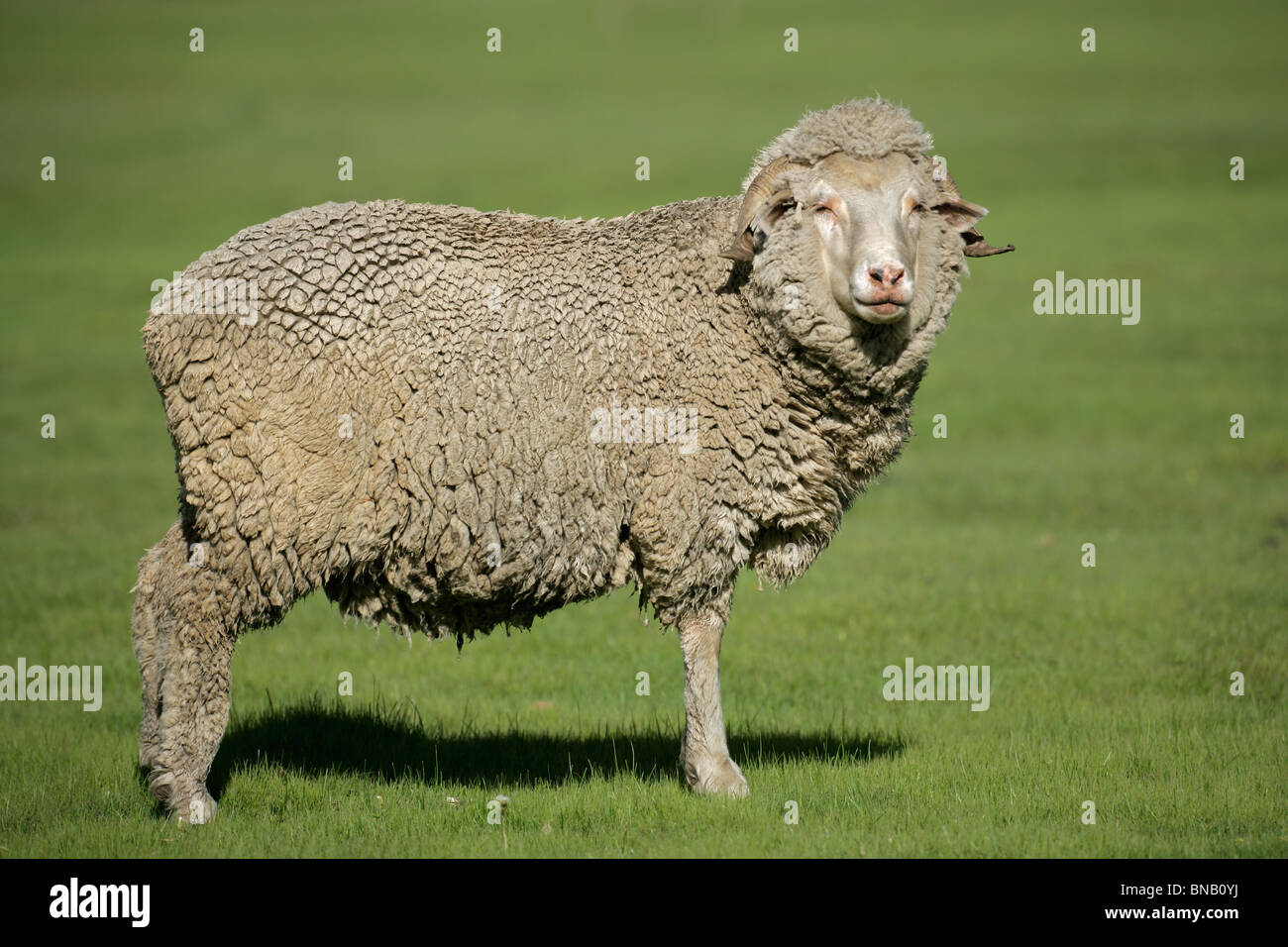 A merino sheep standing in lush green pasture - Stock Image