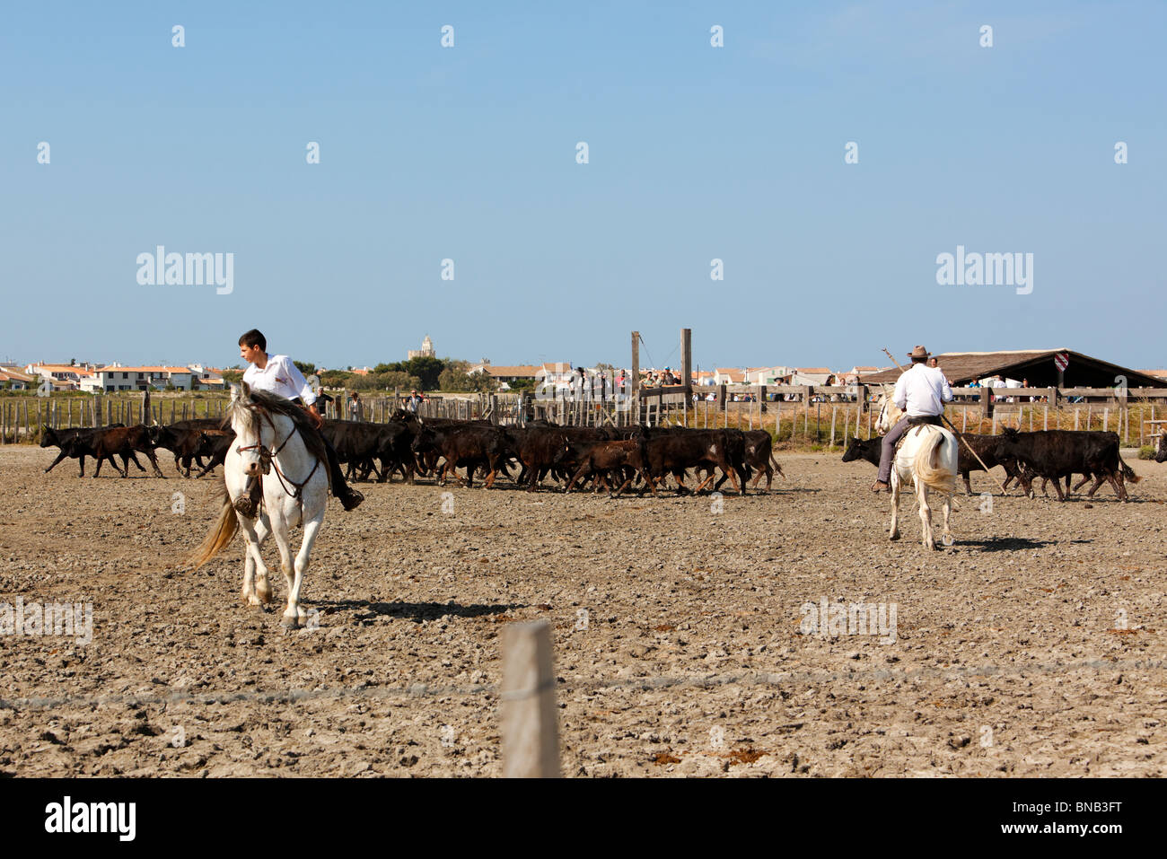Gardians, the cowboys of the Camargue region, separating bulls from the herd for the next bullfighting - Stock Image