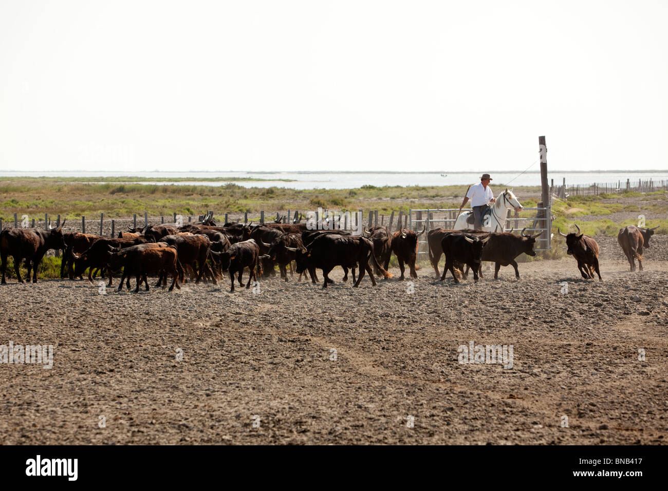 Gardian, a cowboy of the Camargue region, separating bulls from the herd for the next bullfighting - Stock Image