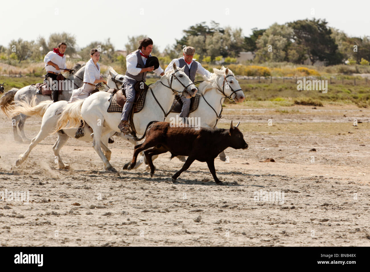 Gardians, the cowboys of the Camargue region, chasing a young black bull for the branding - Stock Image