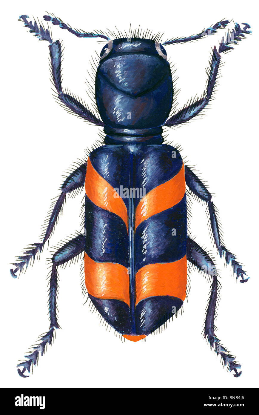 Checkered beetle Stock Photo