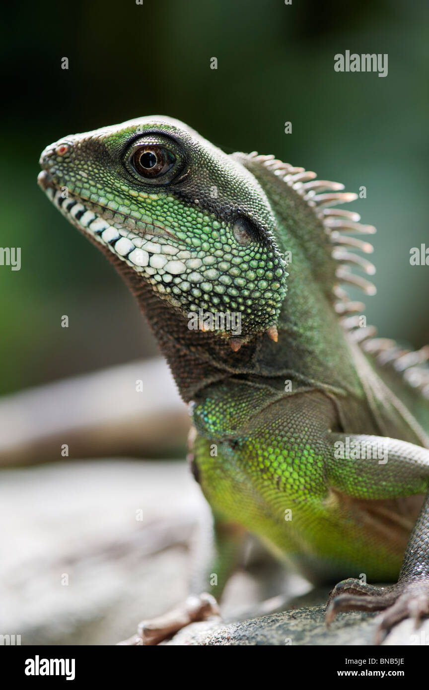 Physignathus cocincinus. Captive Chinese Water Dragon. Green Water Dragon. - Stock Image