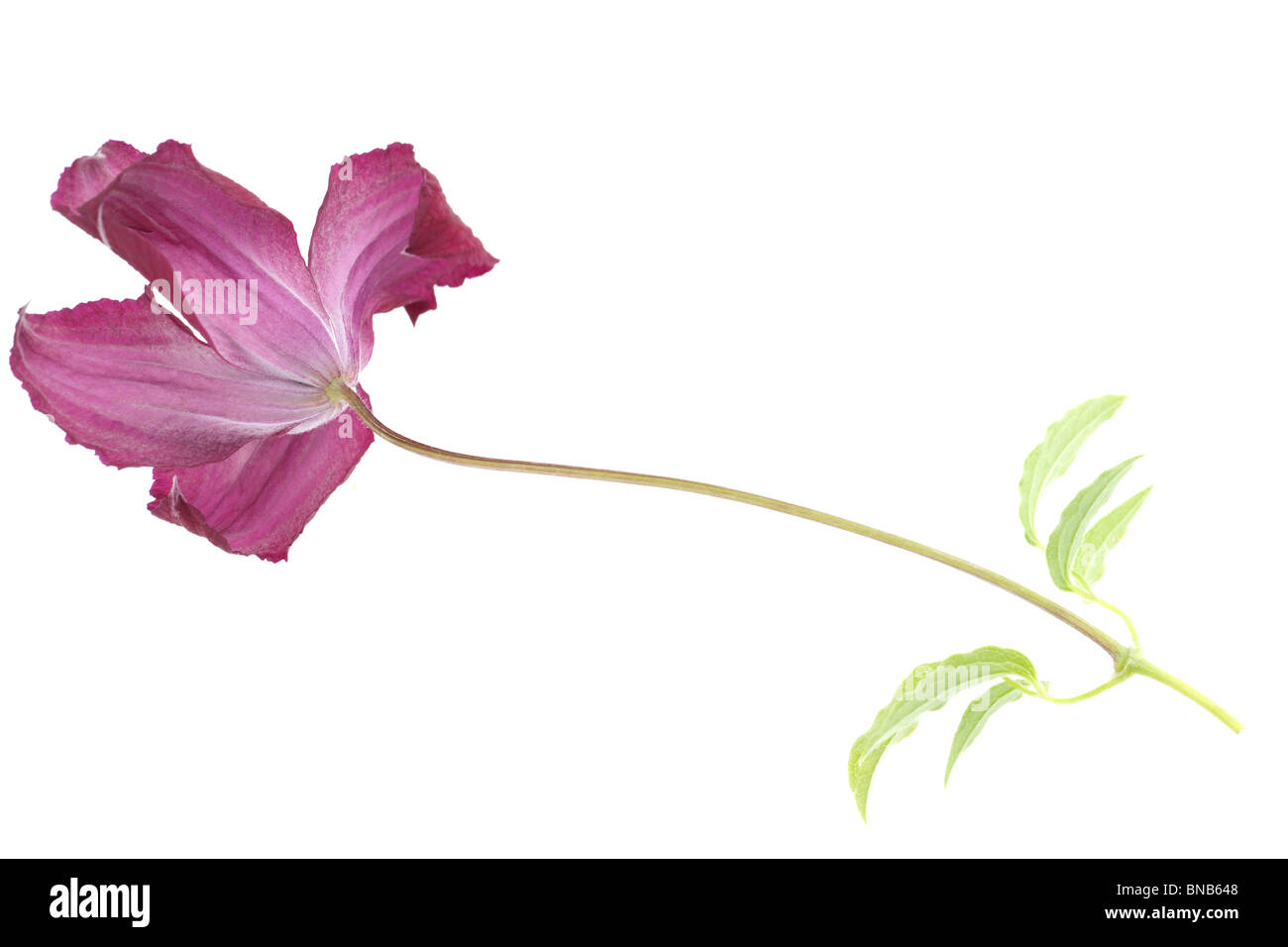 Clematis viticella Madame Julia Correvon a flowerhead stem and leaves - Stock Image