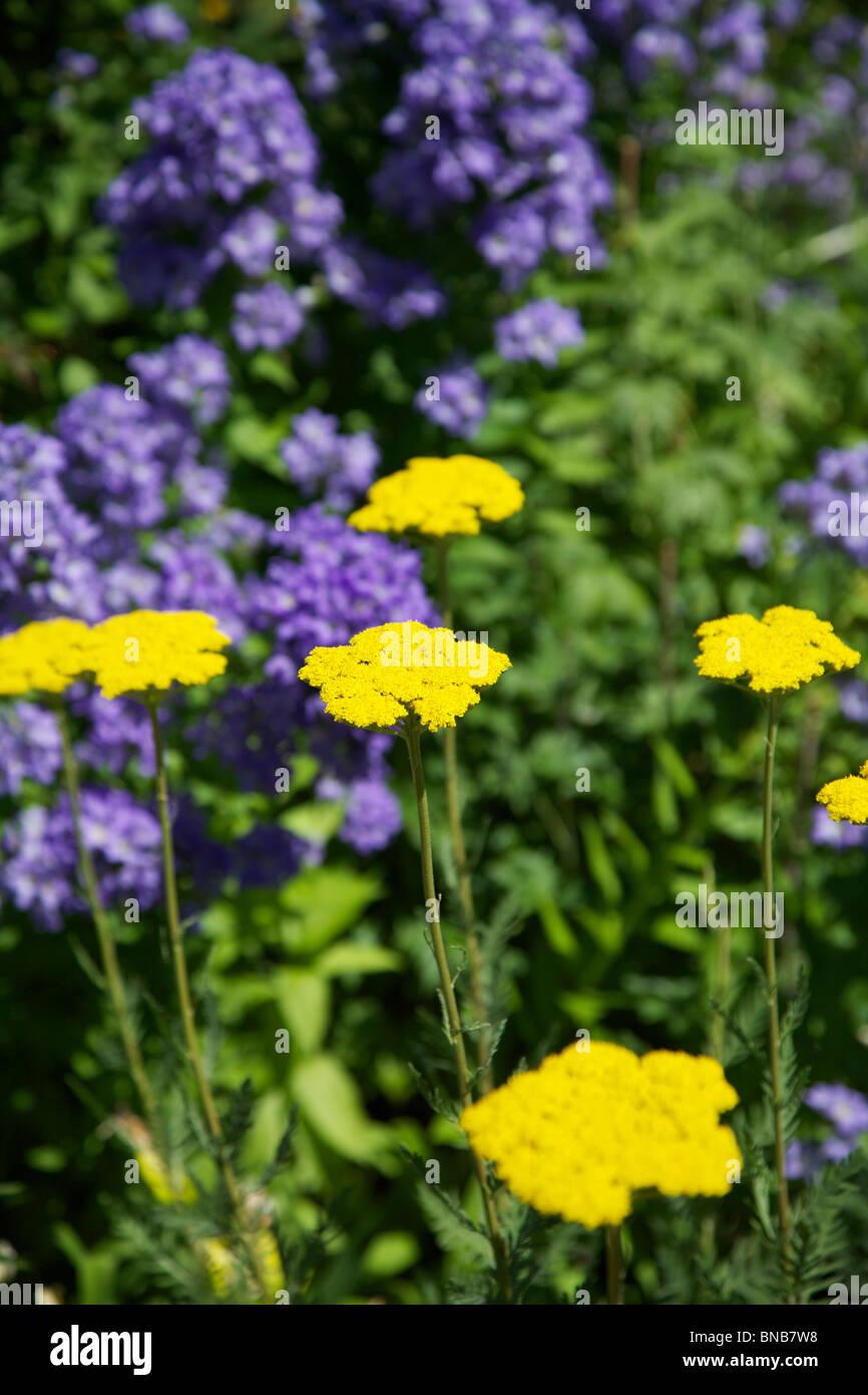 Yellow achillea stock photos yellow achillea stock images alamy yellow achillea achilea and blue phlox maculata flowers in july set against a green izmirmasajfo