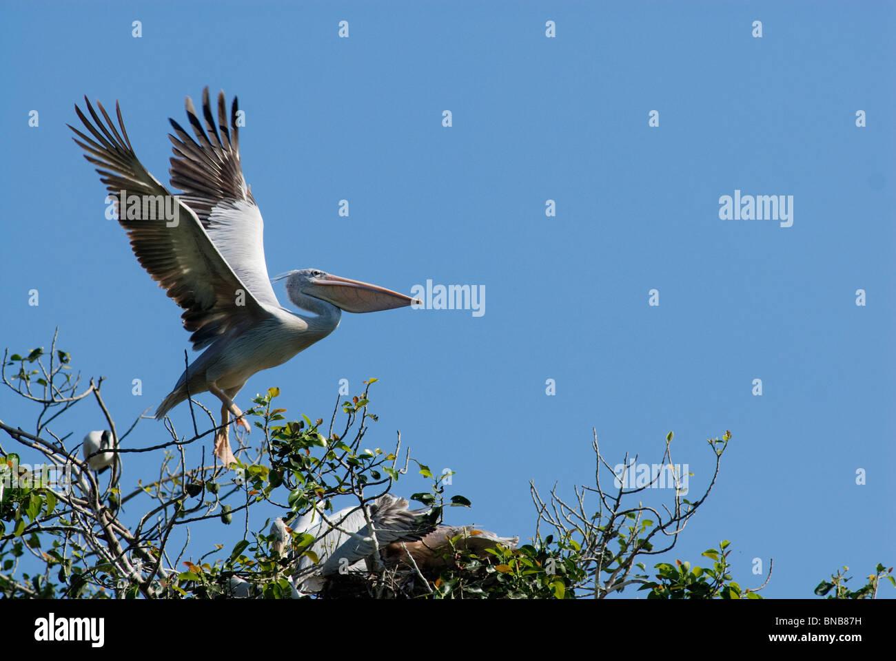 Great White Pelican landing on tree. Kwazulu-Natal, South Africa - Stock Image