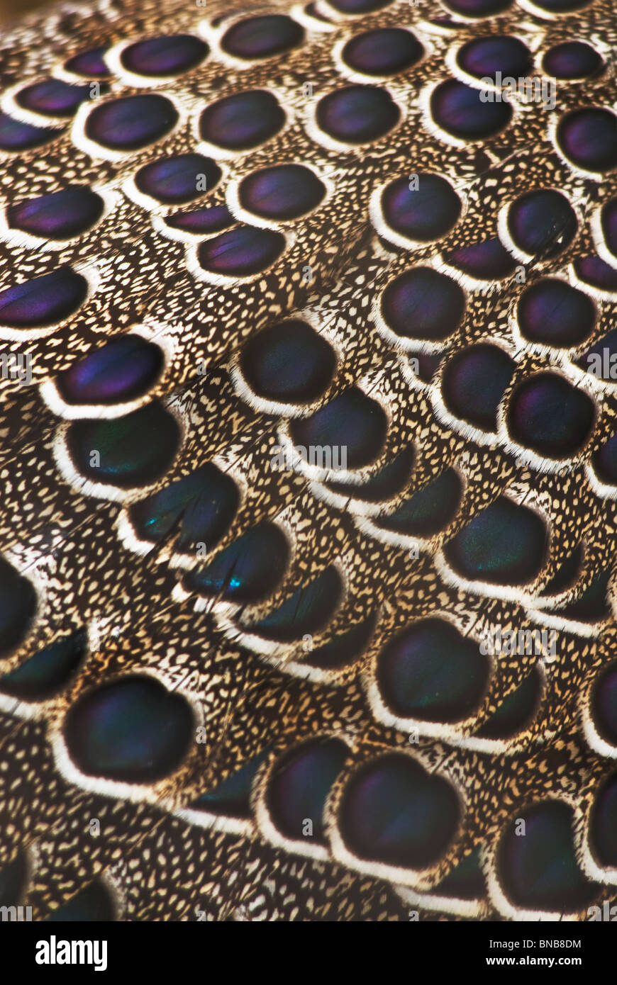 Aerial close-up of peacock feathers making an elaborate pattern of shapes. Kwazulu-Natal, South Africa - Stock Image