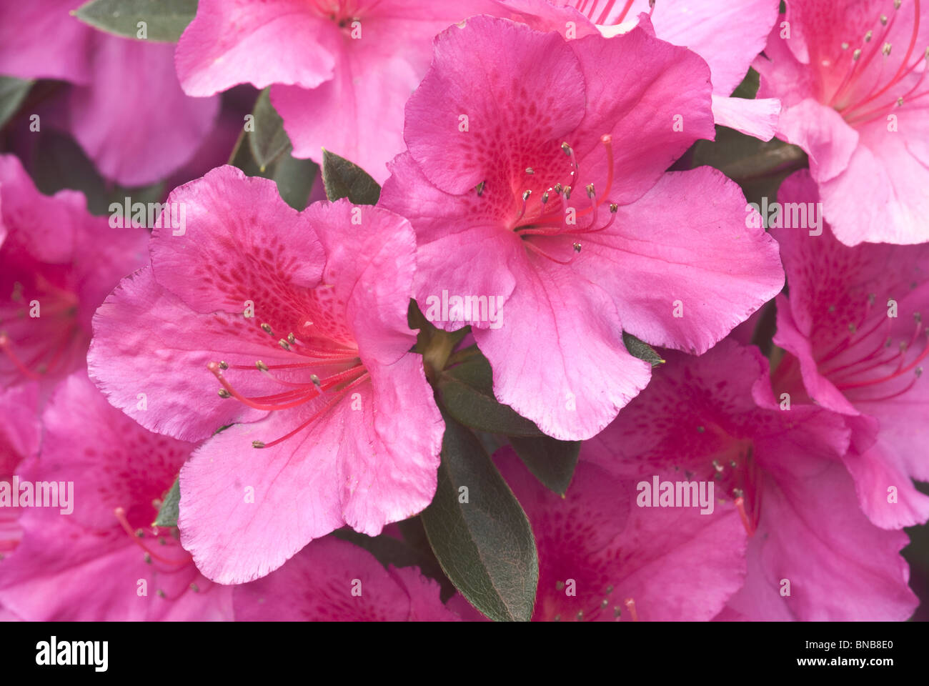Close up of Pink Hibiscus flowers in Monks Cowl, Giants Castle Game Reserve, KwaZulu-Natal, South Africa Stock Photo
