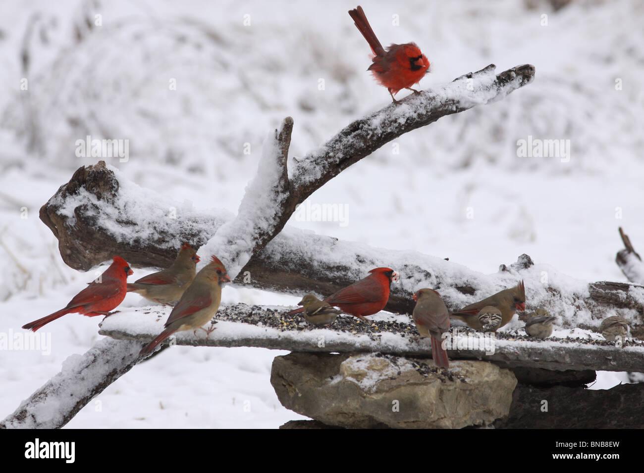 Birds at winter bird feeder cardinal goldfinch - Stock Image