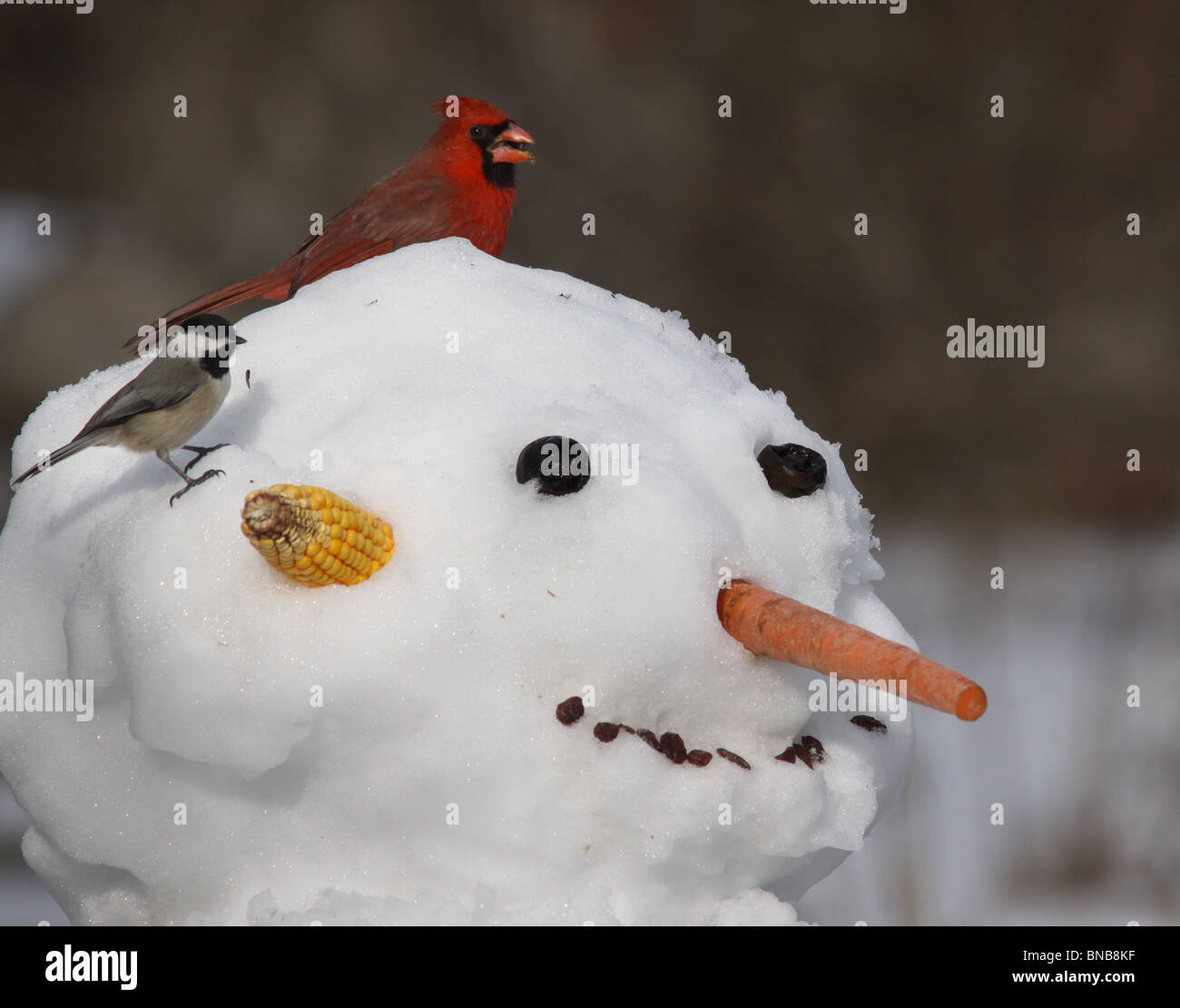 cardinal Carolina chickadee snow man - Stock Image