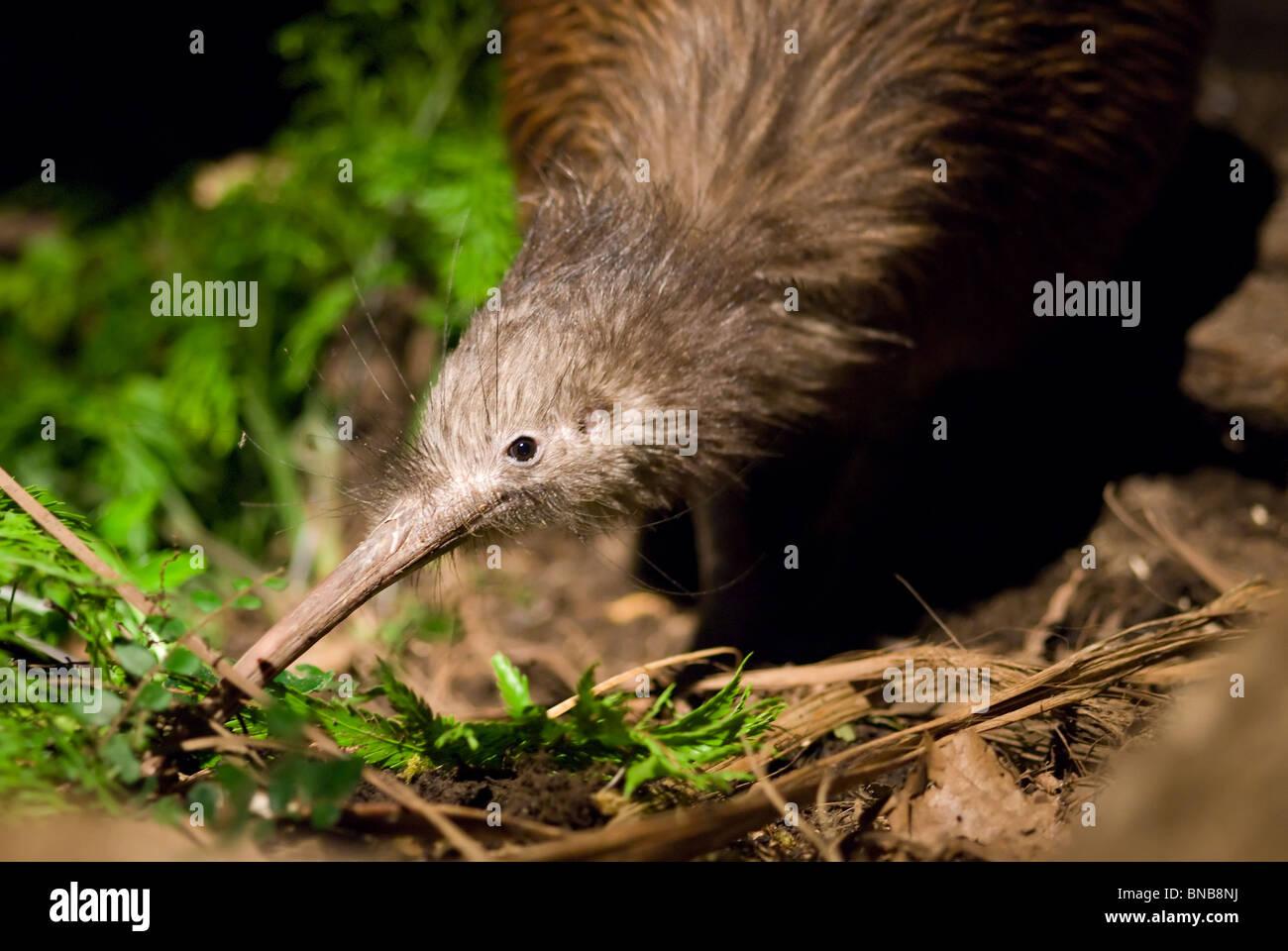 North Island Brown Kiwi Apteryx mantelli - Stock Image