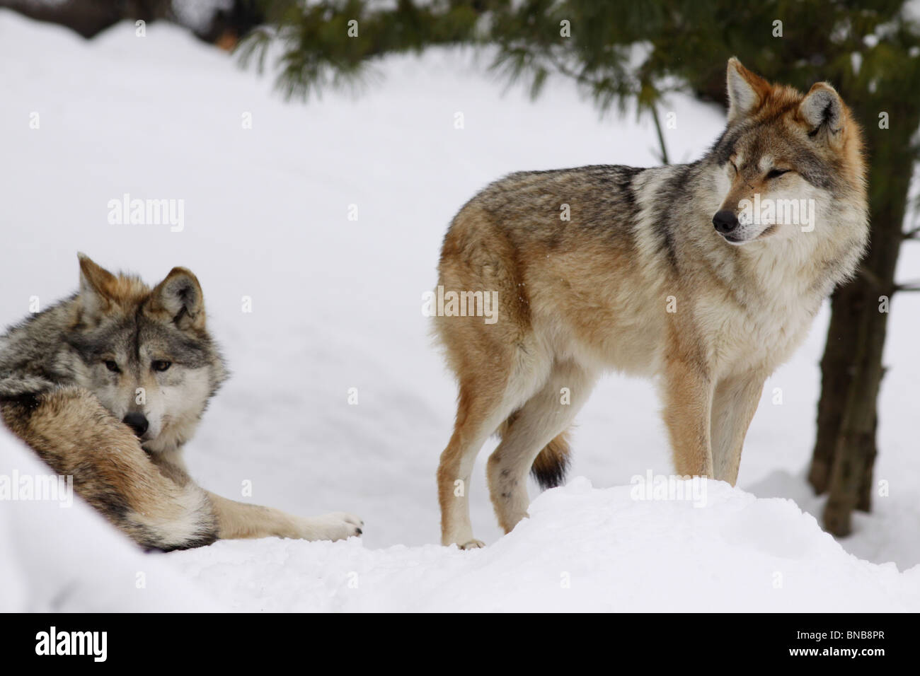 Mexican wolf gray pair subspecies captive breeding - Stock Image