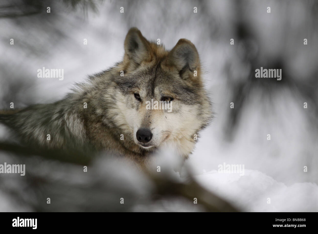 Mexican wolf gray wolf subspecies captive breeding - Stock Image