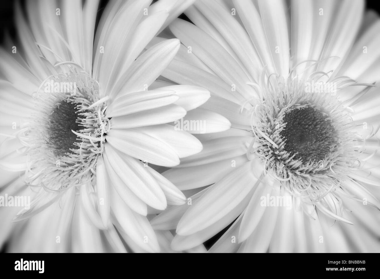 Gerbera Daisy Black And White Stock Photos Images Alamy