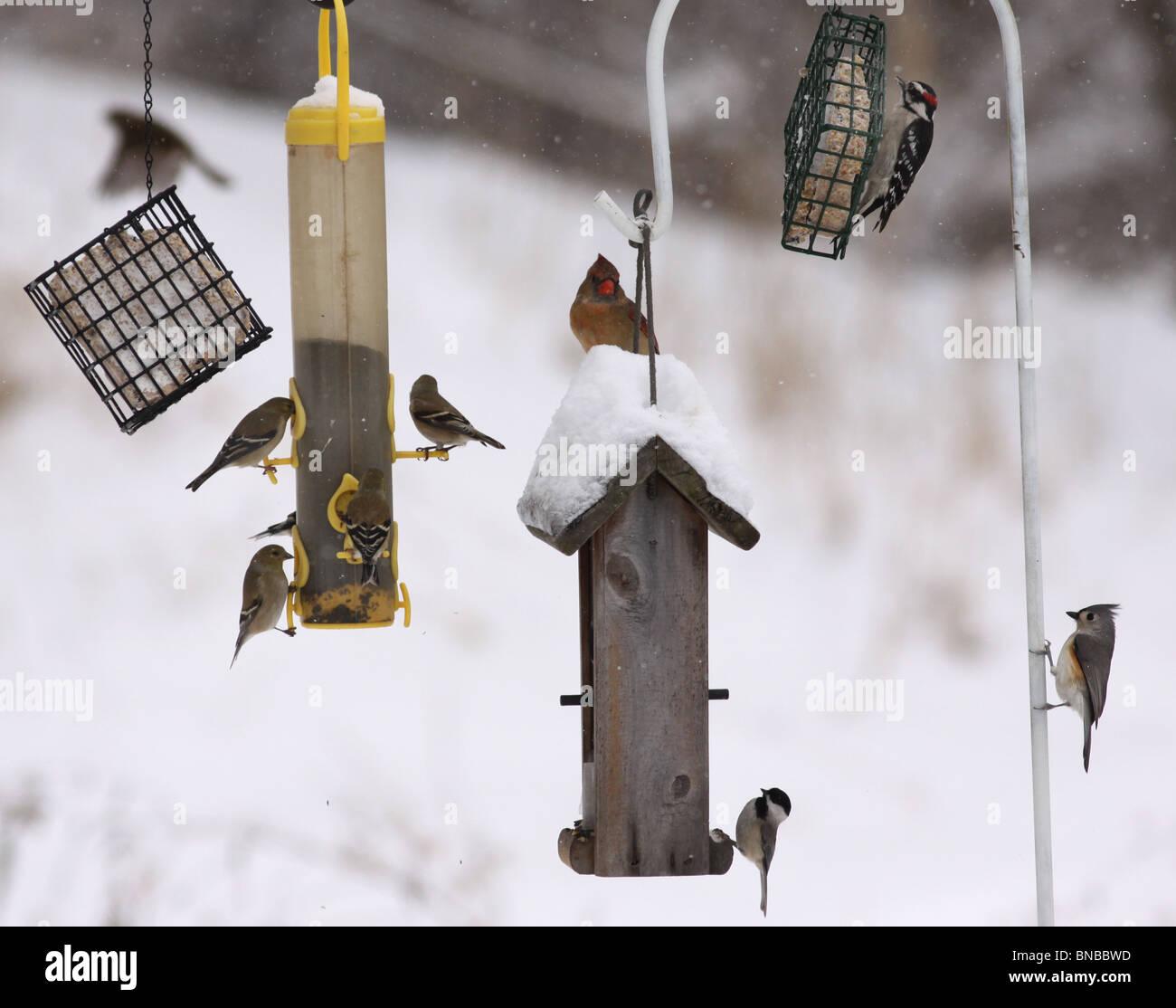 Birds at winter bird feeder cardinal goldfinch downy woodpecker tufted titmouse - Stock Image