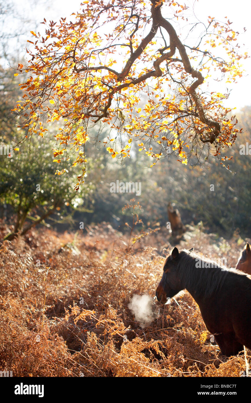 New Forest Pony taking a breath of fresh air in Autumn woodland, Hampshire, England, UK Stock Photo