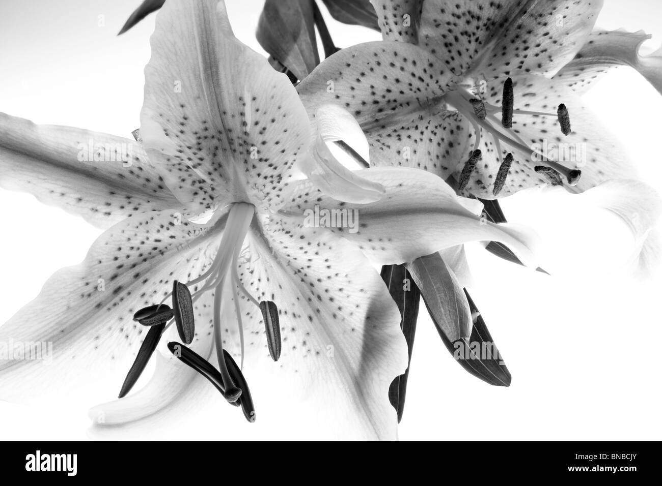 Tiger lily. Oregon - Stock Image