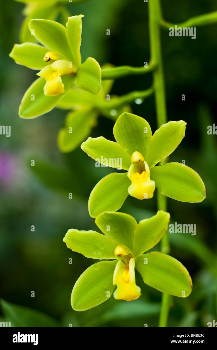 Yellow orchid flowers of cymbidium fifi harry ccmaos stock photo yellow orchid flowers of cymbidium fifi harry ccmaos mightylinksfo