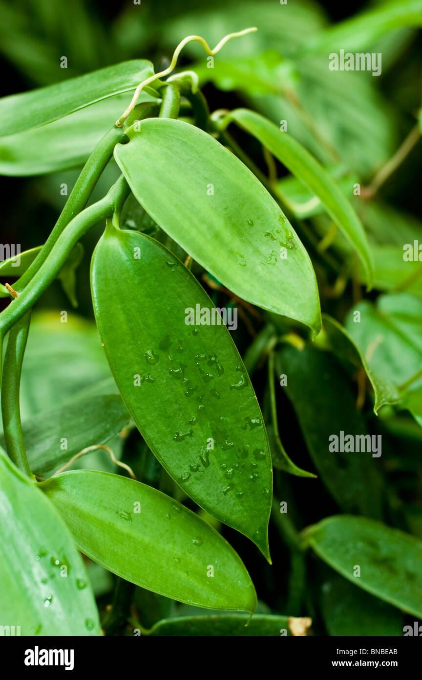 Vanilla planifolia, vanilla plant, Orchidaceae, America, wanilia plaskolistna, storczyk - Stock Image
