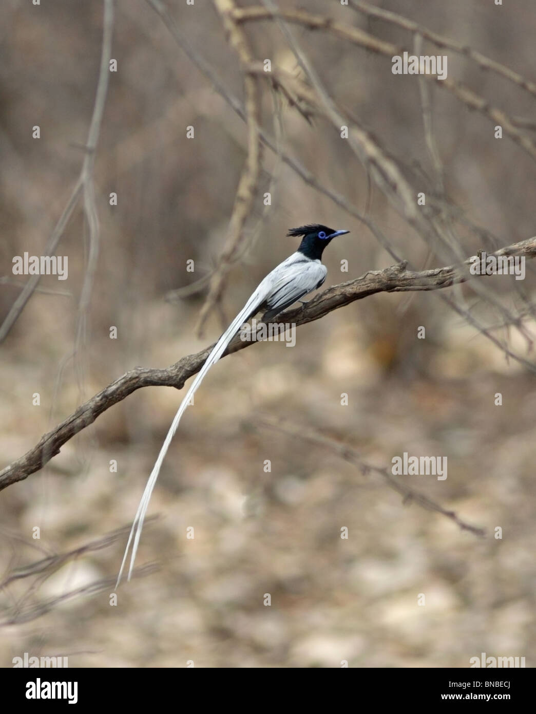 An Asian Paradise Flycatcher perched in a branch in Ranthambhore National Park, India Stock Photo